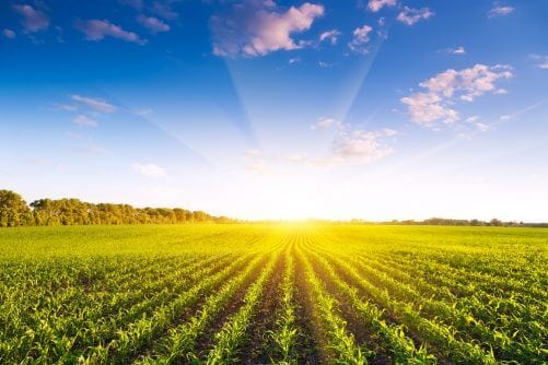 Corn field with morning sun in blue sky