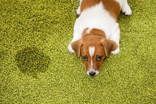 Guilty looking puppy lying next to urine stain on carpet